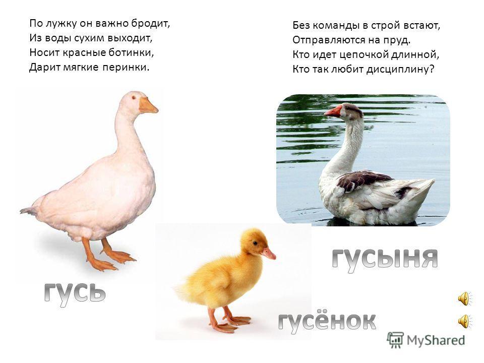картинки для детей домашние птицы и их детёныши
