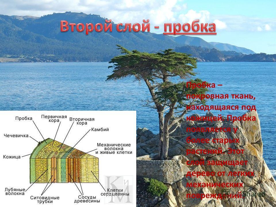 Пробка – покровная ткань, находящаяся под кожицей. Пробка появляется у более старых растений. Этот слой защищает дерево от легких механических повреждений.