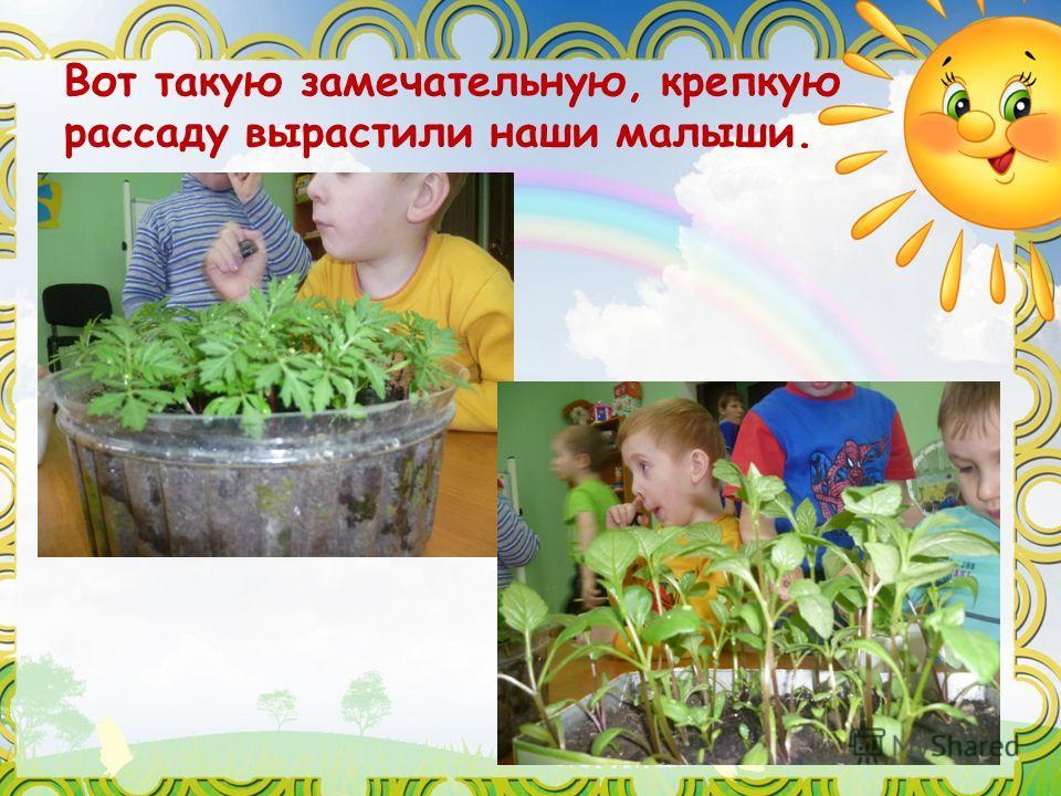 Вот такую замечательную, крепкую рассаду вырастили наши малыши.