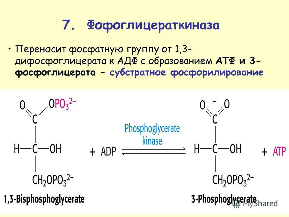 Переносит фосфатную группу от 1,3- дифосфоглицерата к АДФ с образованием ATФ и 3- фосфоглицерата - субстратное фосфорилирование 7. Фофогл и цератк и газа