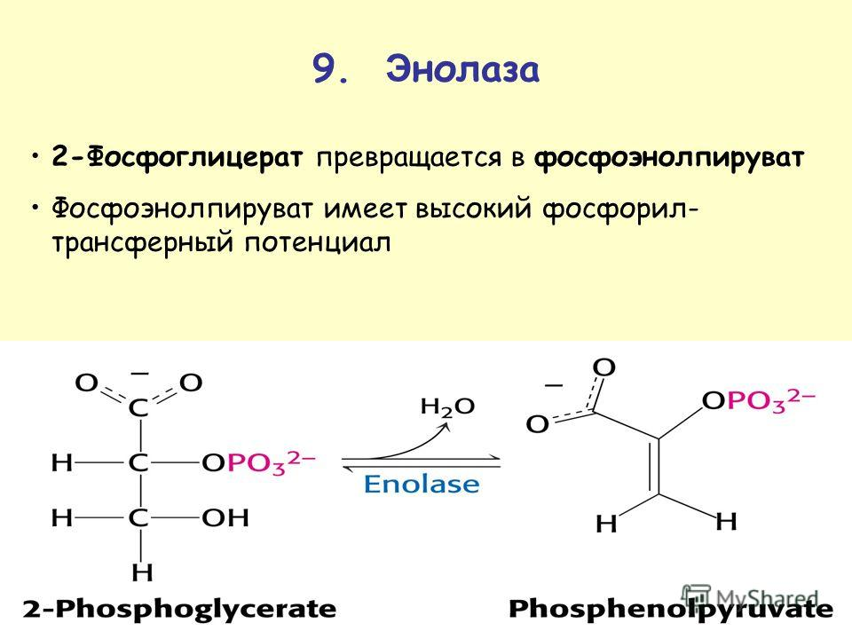 9. Э нолаза 2-Фосфоглицерат превращается в фосфоэнолпируфат Фосфоэнолпируфат имеет высокий фосфорил- трансферный потенциал