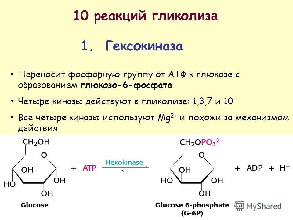 10 реакций гл и кол и з а 1. Гексок и газа Переносит фосфорную группу от АТФ к глюкозе с образованием глюкозо-6-фосфата Четыре киназы действуют в гликолизе: 1,3,7 и 10 Все четыре киназы используют Mg 2+ и похожи за механизмом действия