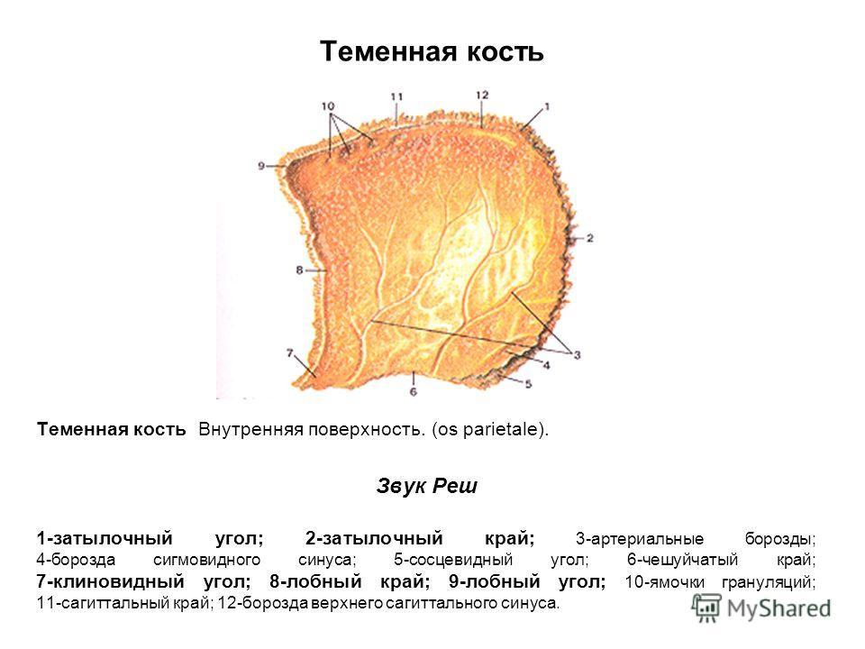 Теменная кость Теменная кость Внутренняя поверхность. (os parietale). Звук Реш 1-затылочный угол; 2-затылочный край; 3-артериальные борозды; 4-борозда сигмовидного синуса; 5-сосцевидный угол; 6-чешуйчатый край; 7-клиновидный угол; 8-лобный край; 9-ло