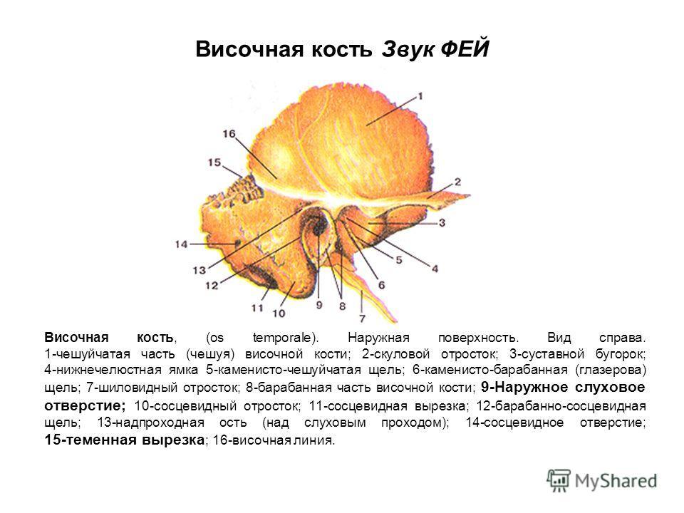 Височная кость Звук ФЕЙ Височная кость, (os temporale). Наружная поверхность. Вид справа. 1-чешуйчатая часть (чешуя) височной кости; 2-скуловой отросток; 3-суставной бугорок; 4-нижнечелюстная ямка 5-каменисто-чешуйчатая щель; 6-каменисто-барабанная (