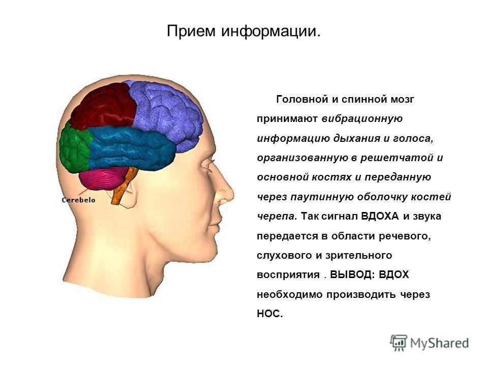 Прием информации. Головной и спинной мозг принимают вибрационную информацию дыхания и голоса, организованную в решетчатой и основной костях и переданную через паутинную оболочку костей черепа. Так сигнал ВДОХА и звука передается в области речевого, с