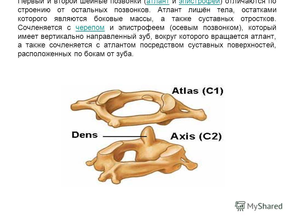 Первый и второй шейные позвонки (атлант и эпистрофей) отличаются по строению от остальных позвонков. Атлант лишён тела, остатками которого являются боковые массы, а также суставных отростков. Сочленяется с черепом и эпистрофеем (осевым позвонком), ко