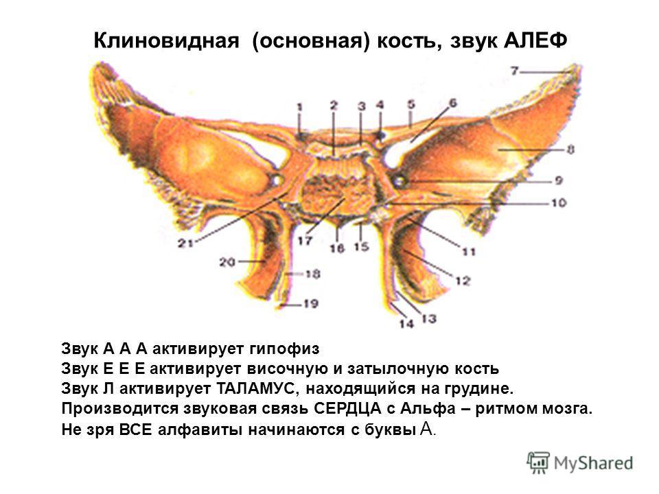 Звук А А А активирует гипофиз Звук Е Е Е активирует височную и затылочную кость Звук Л активирует ТАЛАМУС, находящийся на грудине. Производится звуковая связь СЕРДЦА с Альфа – ритмом мозга. Не зря ВСЕ алфавиты начинаются с буквы А. Клиновидная (основ