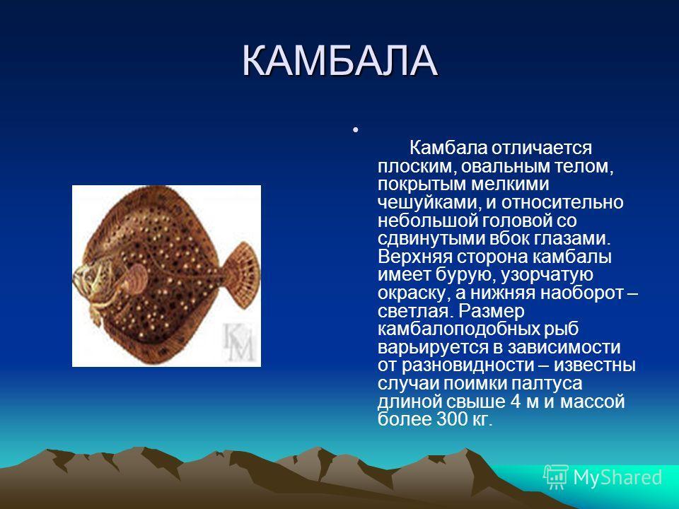 КАМБАЛА Камбала отличается плоским, овальным телом, покрытым мелкими чешуйками, и относительно небольшой головой со сдвинутыми вбок глазами. Верхняя сторона камбалы имеет бурую, узорчатую окраску, а нижняя наоборот – светлая. Размер камбалоподобных р