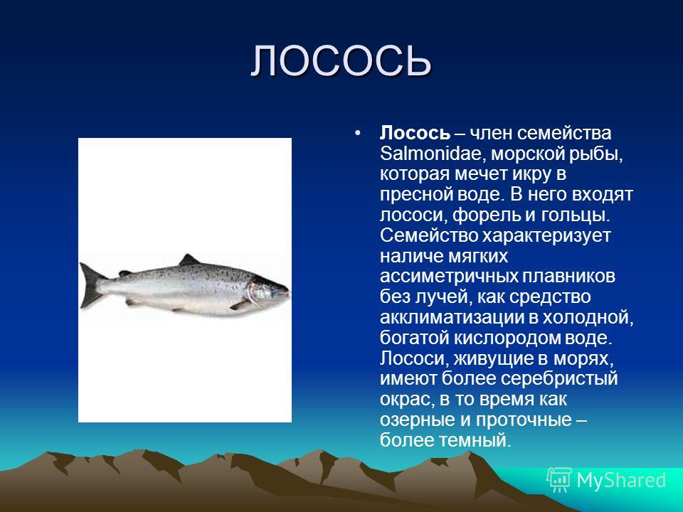 ЛОСОСЬ Лосось – член семейства Salmonidae, морской рыбы, которая мечет икру в пресной воде. В него входят лососи, форель и гольцы. Семейство характеризует наличие мягких ассиметричных плавников без лучей, как средство акклиматизации в холодной, богат