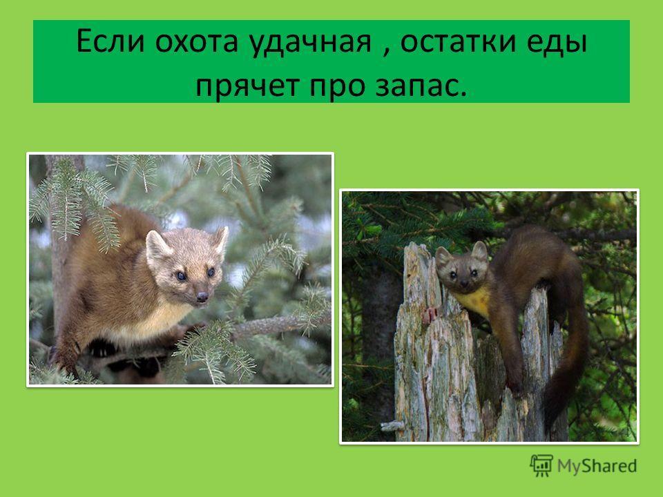 Если охота удачная, остатки еды прячет про запас.