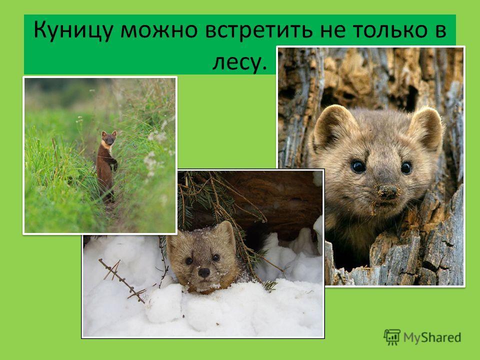 Куницу можно встретить не только в лесу.