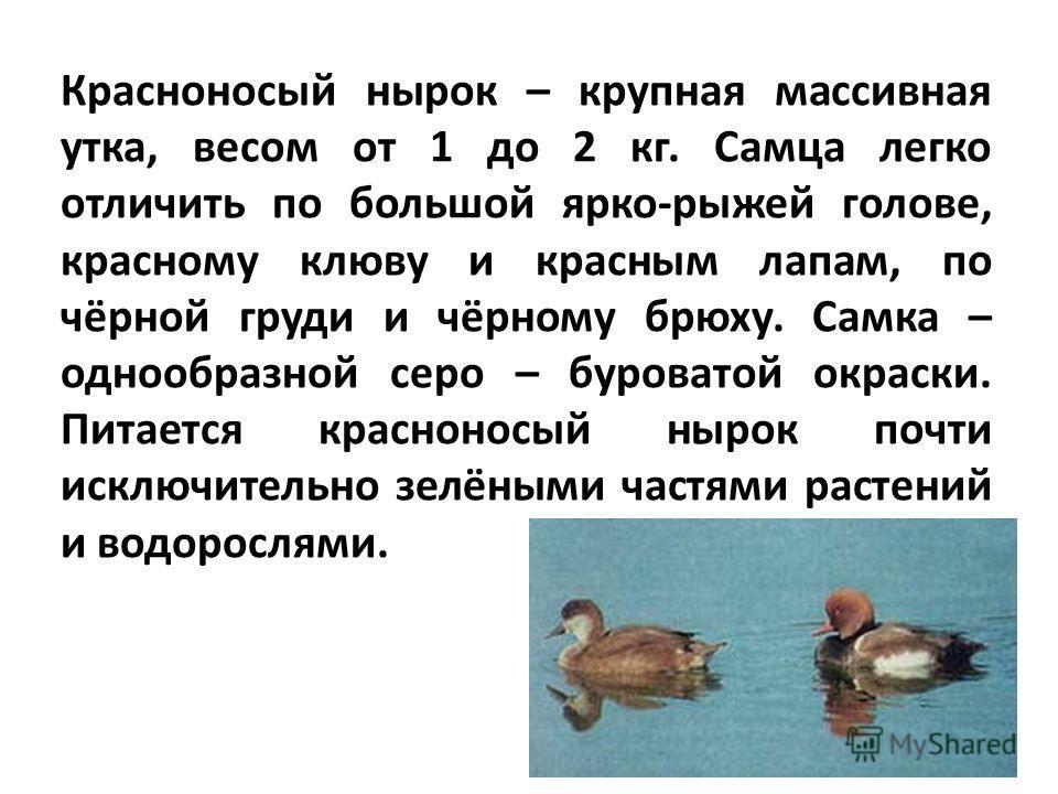 Красноносый нырок – крупная массивная утка, весом от 1 до 2 кг. Самца легко отличить по большой ярко-рыжей голове, красному клюву и красным лапам, по чёрной груди и чёрному брюху. Самка – однообразной серо – буроватой окраски. Питается красноносый ны