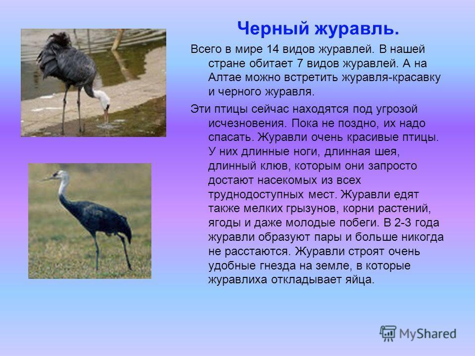 Черный журавль. Всего в мире 14 видов журавлей. В нашей стране обитает 7 видов журавлей. А на Алтае можно встретить журавля-красавку и черного журавля. Эти птицы сейчас находятся под угрозой исчезновения. Пока не поздно, их надо спасать. Журавли очен