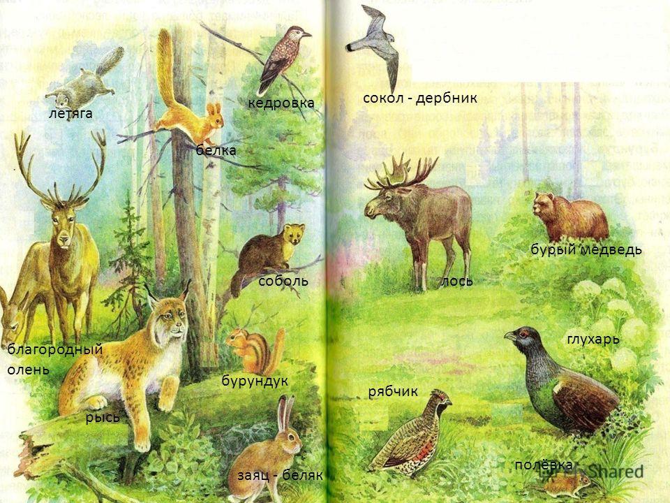 сокол - дербник белка кедровка летяга лось бурый медведь соболь благородный олень рысь заяц - беляк рябчик глухарь полёвка бурундук