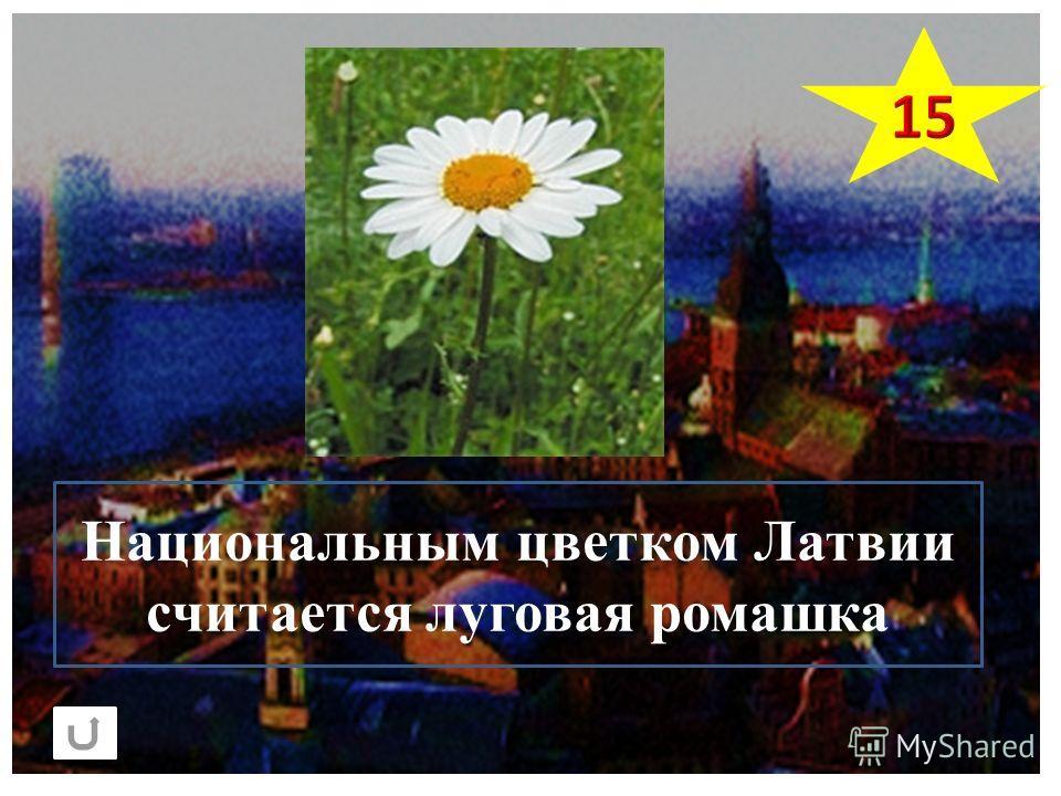 Национальным цветком Латвии считается луговая ромашка