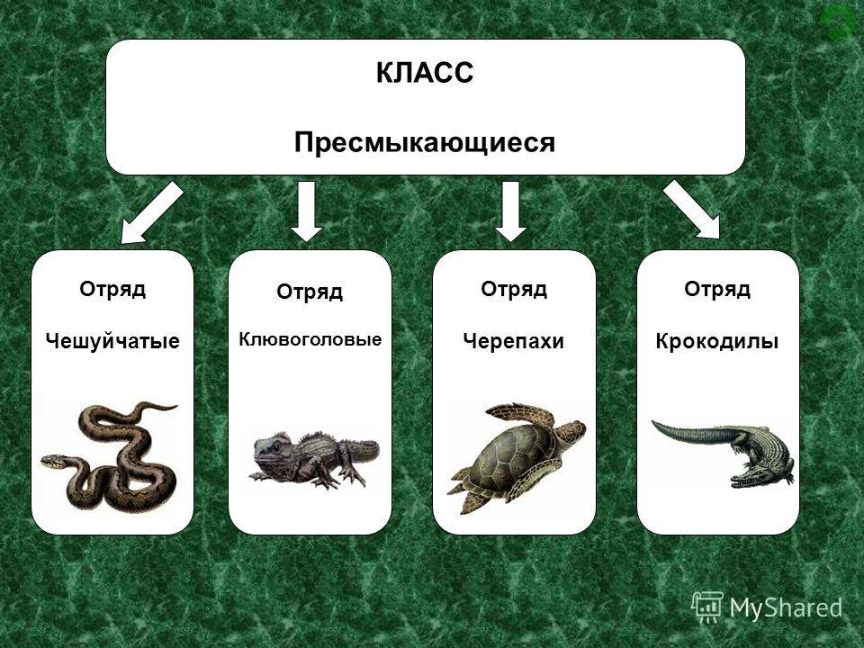 КЛАСС Пресмыкающиеся Отряд Чешуйчатые Отряд Клювоголовые Отряд Черепахи Отряд Крокодилы