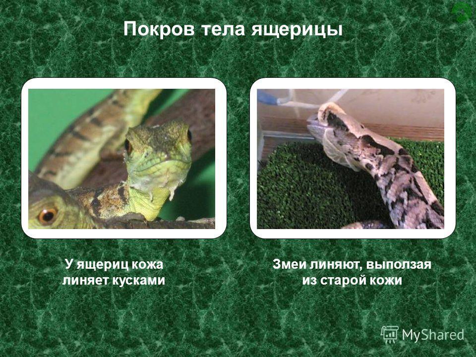 У ящериц кожа линяет кусками Змеи линяют, выползая из старой кожи Покров тела ящерицы
