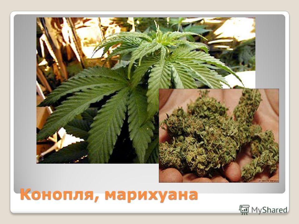 Конопля, марихуана