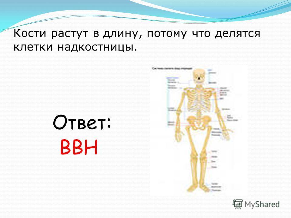 Кости растут в длину, потому что делятся клетки надкостницы. Ответ: ВВН