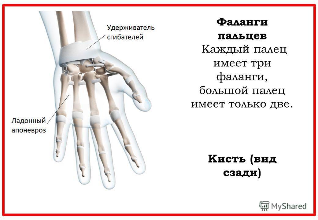 Фаланги пальцев Каждый палец имеет три фаланги, большой палец имеет только две. Кисть (вид сзади)