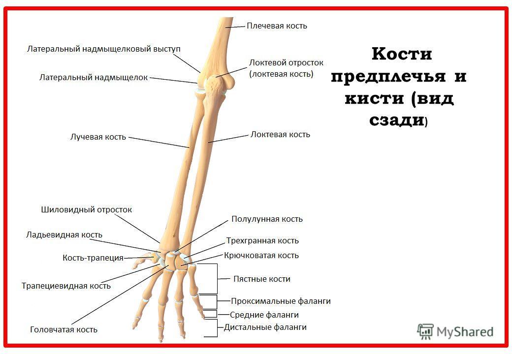 Кости предплечья и кисти (вид сзади )