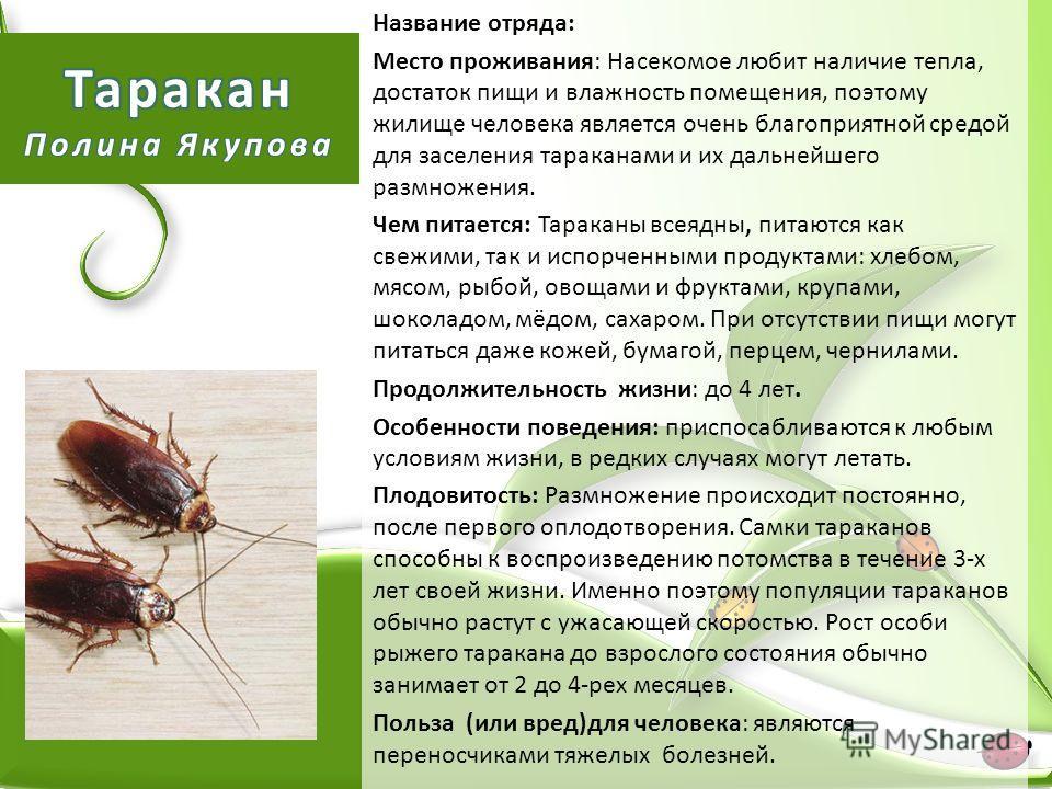 Название отряда: Место проживания: Насекомое любит наличие тепла, достаток пищи и влажность помещения, поэтому жилище человека является очень благоприятной средой для заселения тараканами и их дальнейшего размножения. Чем питается: Тараканы всеядны,
