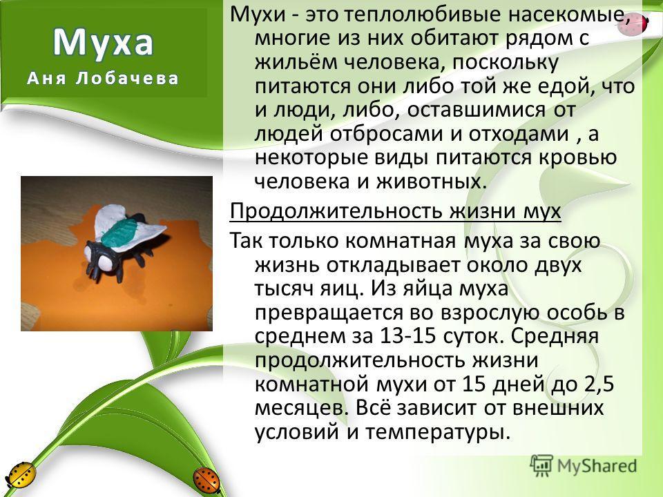 Мухи - это теплолюбивые насекомые, многие из них обитают рядом с жильём человека, поскольку питаются они либо той же едой, что и люди, либо, оставшимися от людей отбросами и отходами, а некоторые виды питаются кровью человека и животных. Продолжитель