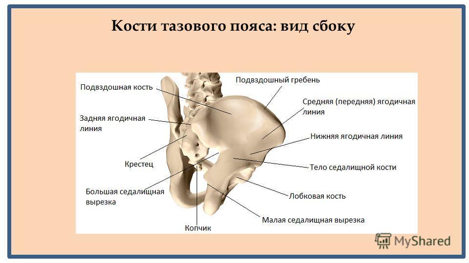 Кости тазового пояса: вид сбоку