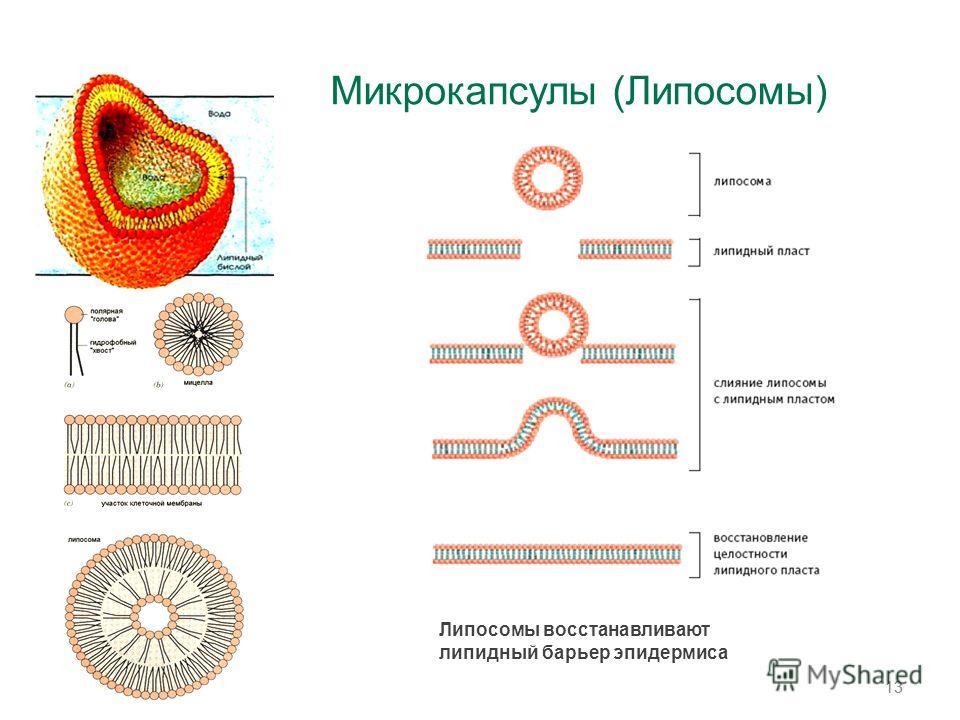 Микрокапсулы (Липосомы) 13 Липосомы восстанавливают липидный барьер эпидермиса