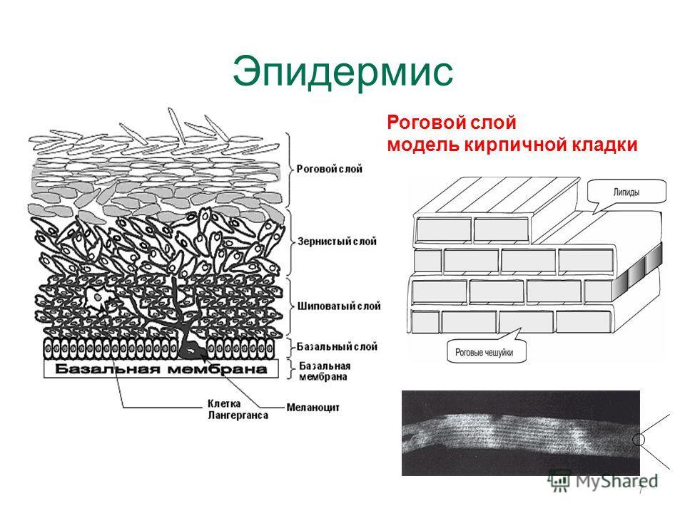 Эпидермис 7 Роговой слой модель кирпичной кладки