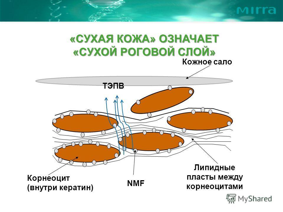 Корнеоцит (внутри кератин) NMF Липидные пласты между корнеоцитами ТЭПВ Кожное сало «СУХАЯ КОЖА» ОЗНАЧАЕТ «СУХОЙ РОГОВОЙ СЛОЙ»