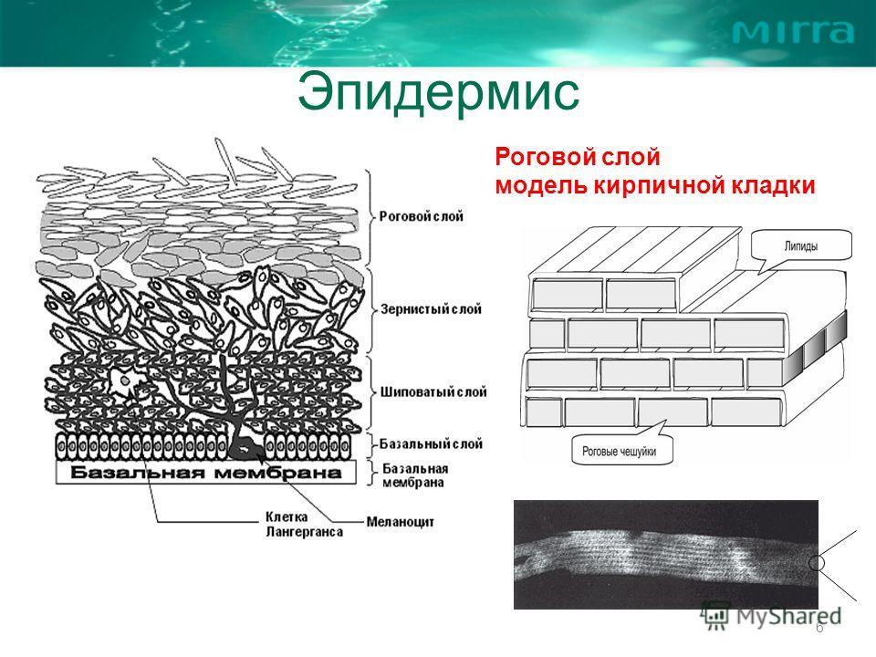 Эпидермис 6 Роговой слой модель кирпичной кладки