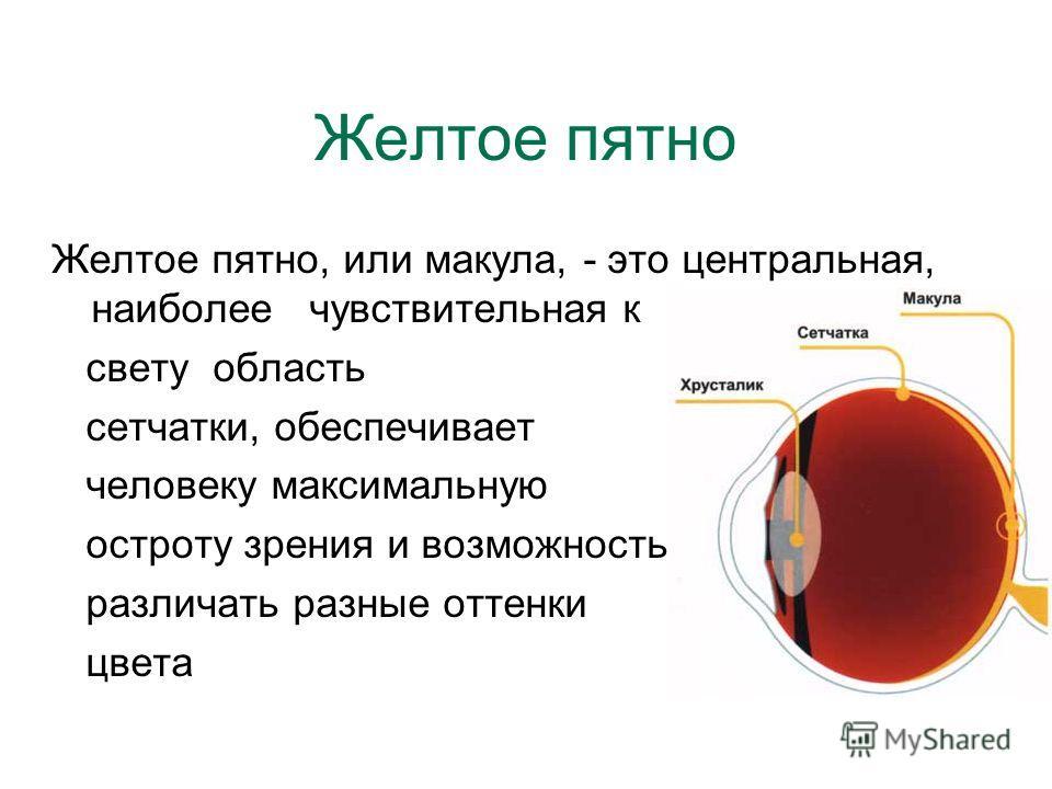 Желтое пятно Желтое пятно, или макула, - это центральная, наиболее чувствительная к свету область сетчатки, обеспечивает человеку максимальную остроту зрения и возможность различать разные оттенки цвета