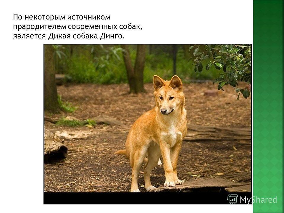 По некоторым источником прародителем современных собак, является Дикая собака Динго.