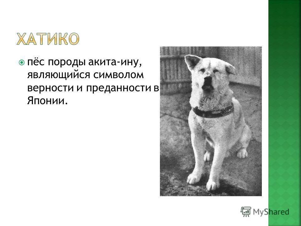 пёс породы акита-ину, являющийся символом верности и преданности в Японии.