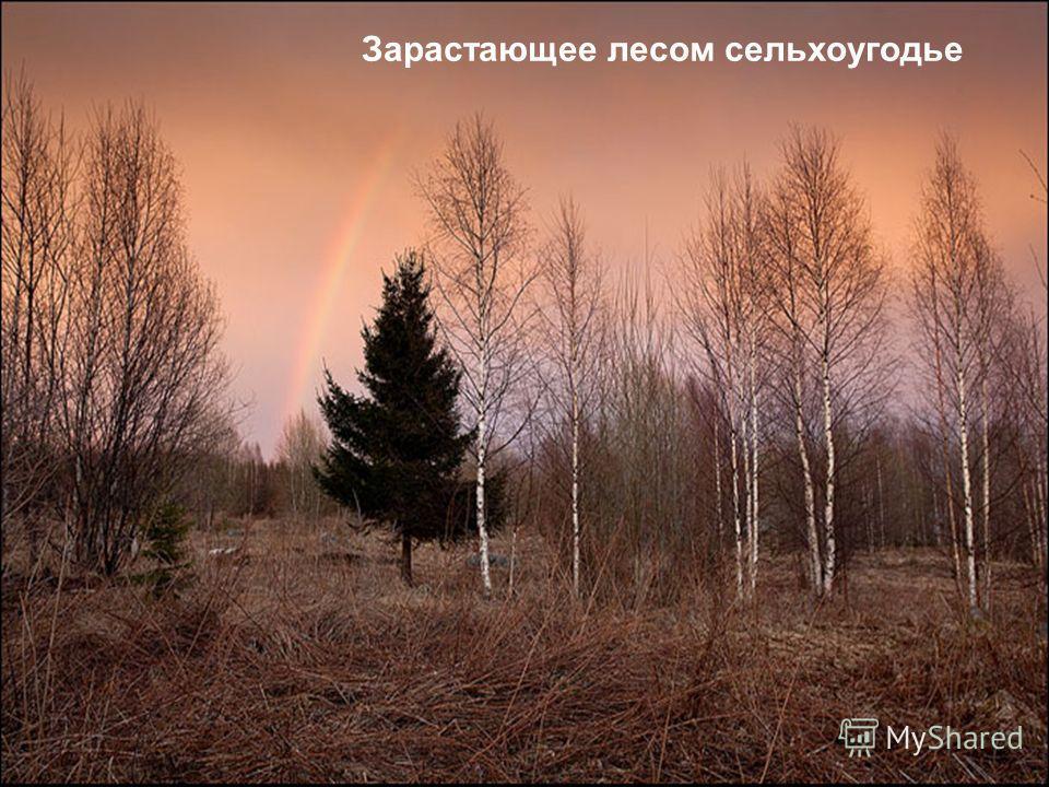 Зарастающее лесом сельхоугодье