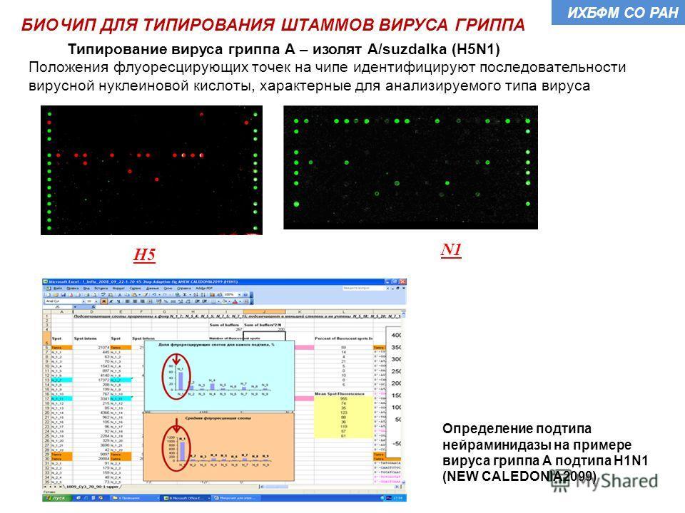 Типирование вируса гриппа А – изолят A/suzdalka (H5N1) Положения флуоресцирующих точек на чипе идентифицируют последовательности вирусной нуклеиновой кислоты, характерные для анализируемого типа вируса Определение подтипа нейраминидазы на примере вир