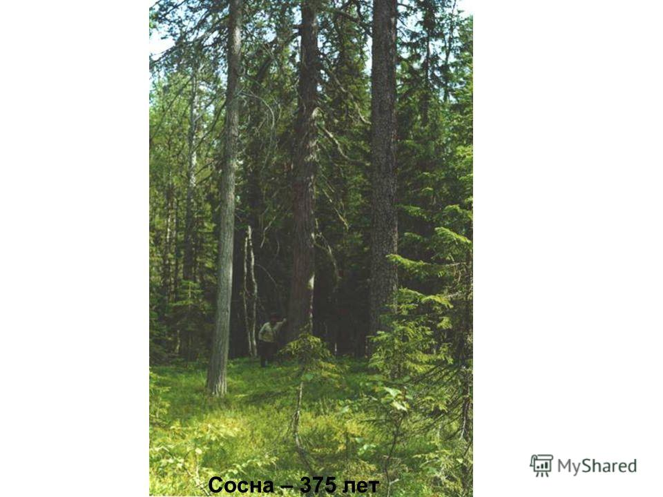 Сосна – 375 лет