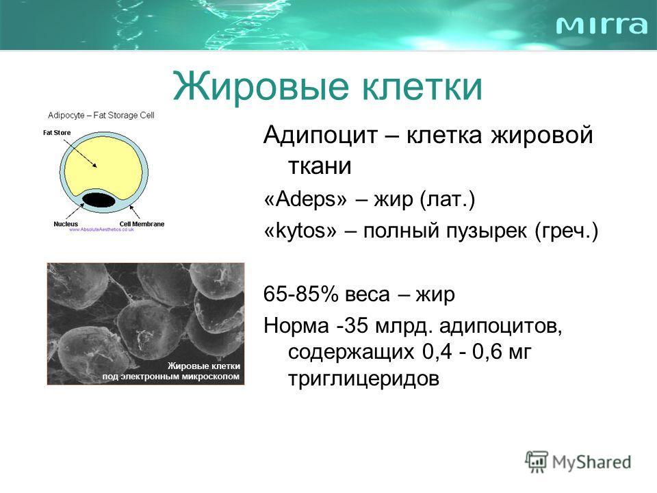 Жировые клетки Адипоцит – клетка жировой ткани «Adeps» – жир (лат.) «kytos» – полный пузырек (греч.) 65-85% веса – жир Норма -35 млрд. адипоцитов, содержащих 0,4 - 0,6 мг триглицеридов