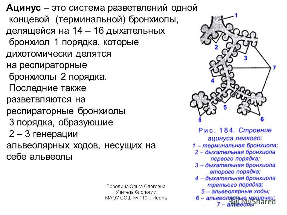 Ацинус – это система разветвлений одной концевой (терминальной) бронхиолы, делящейся на 14 – 16 дыхательных бронхиол 1 порядка, которые дихотомически делятся на респираторные бронхиолы 2 порядка. Последние также разветвляются на респираторные бронхио