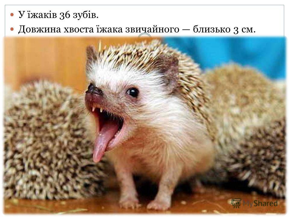 У їжаків 36 зубів. Довжина хвоста їжака звичайного близько 3 см.