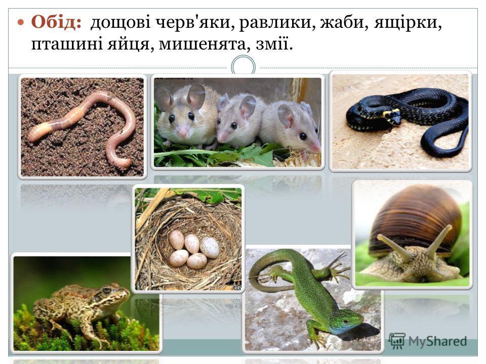 Обід: дощові черв'яки, равлики, жабы, ящірки, пташині яйца, мишенята, змії.