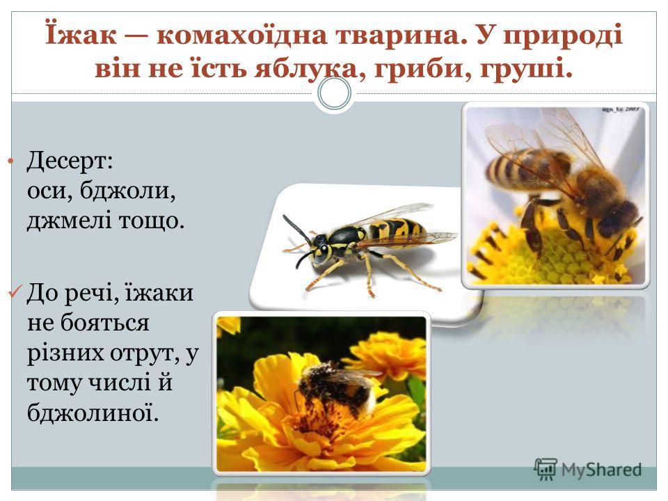 Їжак комахоїдна тварина. У природі він не їсть яблока, грибы, груші. Десерт: оси, бджоли, джмелі тощо. До речі, їжаки не бояться різних отрут, у тому числі й бджолиної.