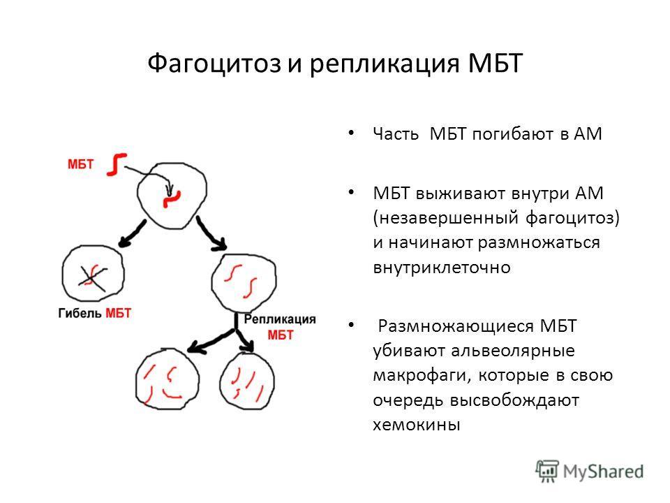 Фагоцитоз и репликация МБТ Часть МБТ погибают в АМ МБТ выживают внутри АМ (незавершенный фагоцитоз) и начинают размножаться внутриклеточной Размножающиеся МБТ убивают альвеолярные макрофаги, которые в свою очередь высвобождают хемокины