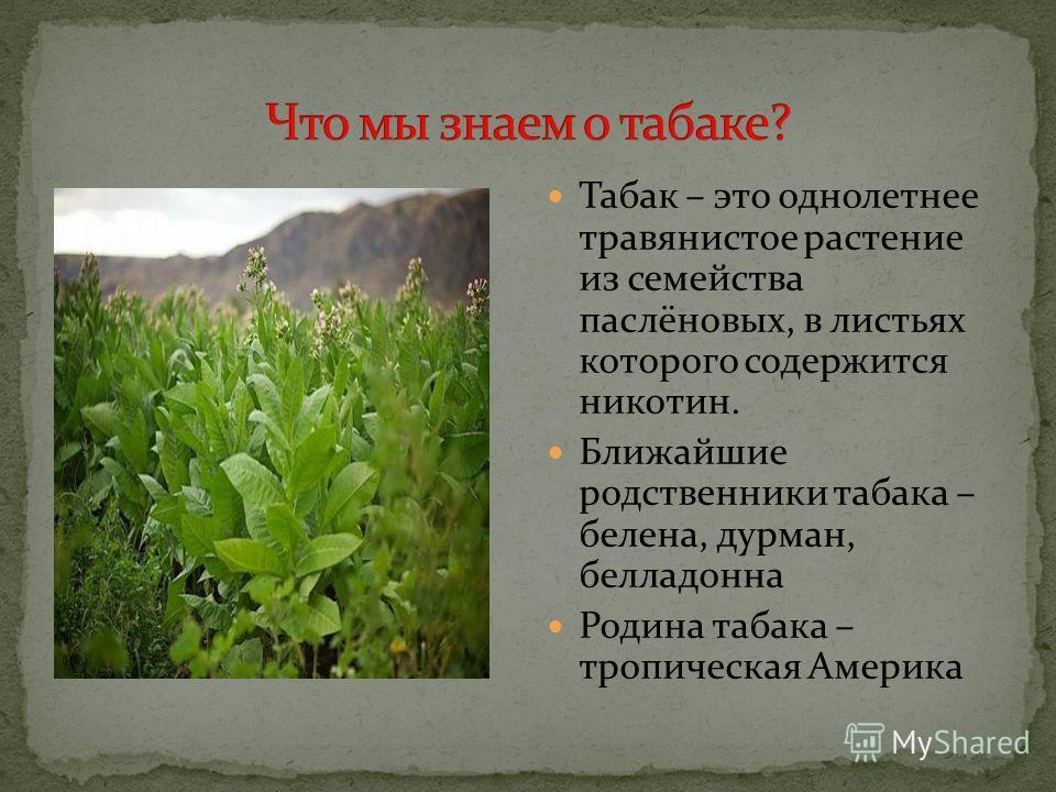 Табак – это однолетнее травянистое растение из семейства паслёновых, в листьях которого содержится никотин. Ближайшие родственники табака – белена, дурман, белладонна Родина табака – тропическая Америка