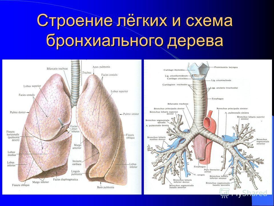 Строение лёгких и схема бронхиального дерева