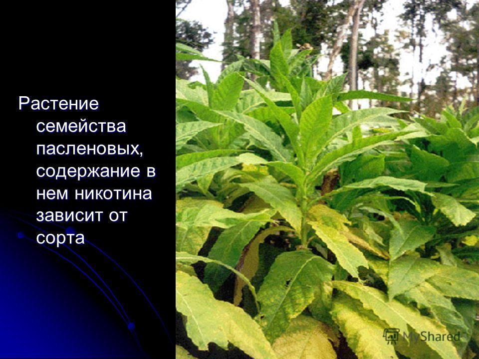 Табак Растение семейства пасленовых, содержание в нем никотина зависит от сорта
