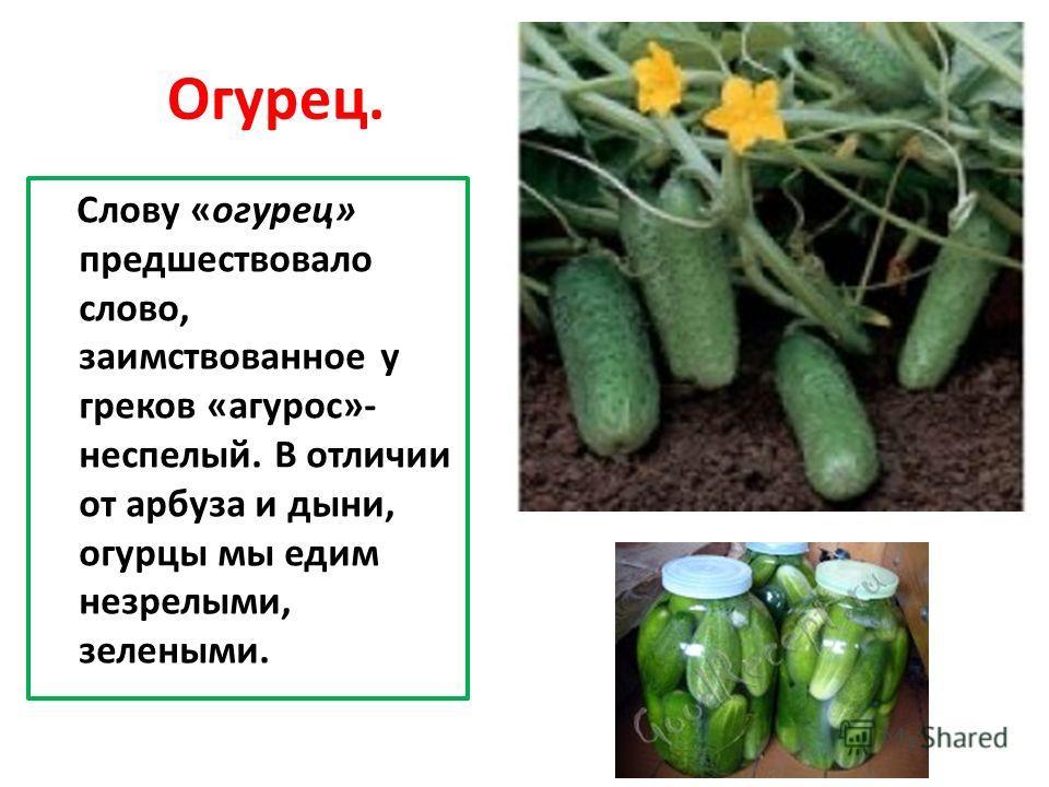 Огурец. Слову «огурец» предшествовало слово, заимствованное у греков «агурос»- неспелый. В отличии от арбуза и дыни, огурцы мы едим незрелыми, зелеными.