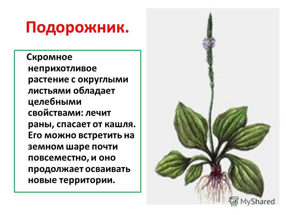 Подорожник. Скромное неприхотливое растение с округлыми листьями обладает целебными свойствами: лечит раны, спасает от кашля. Его можно встретить на земном шаре почти повсеместно, и оно продолжает осваивать новые территории.