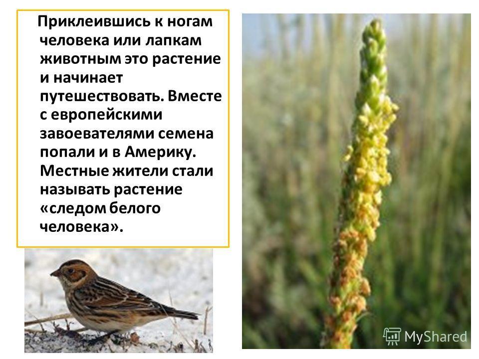 Приклеившись к ногам человека или лапкам животным это растение и начинает путешествовать. Вместе с европейскими завоевателями семена попали и в Америку. Местные жители стали называть растение «следом белого человека».